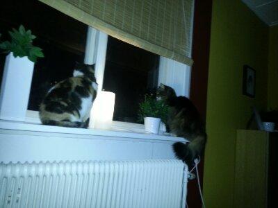 Spanande katter
